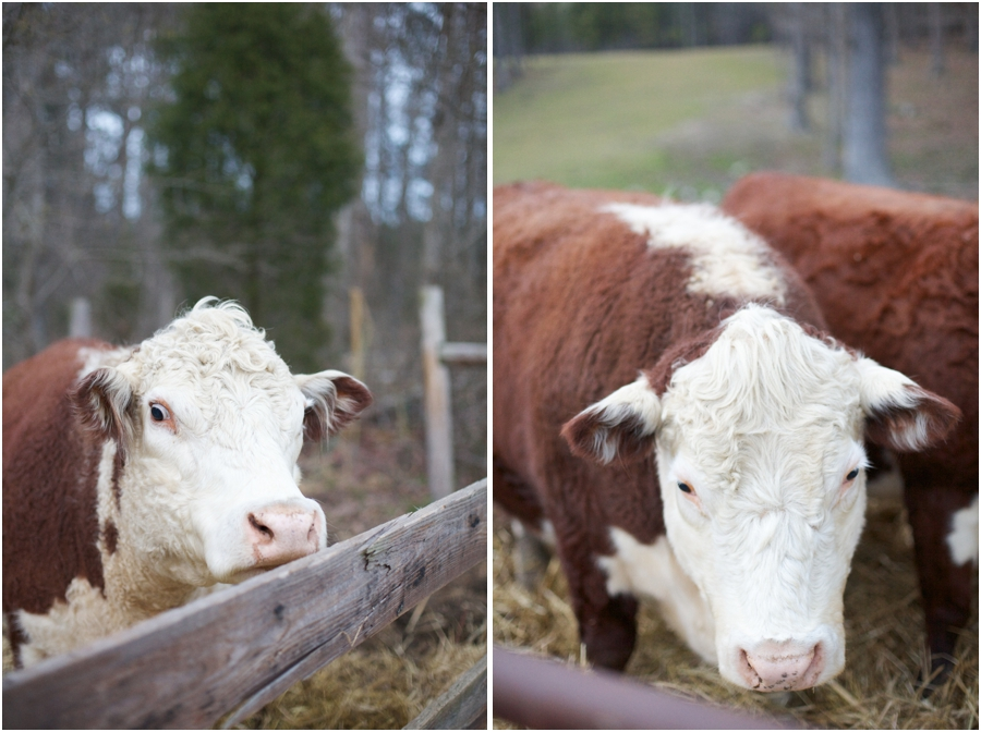 cows at cloer vineyard, raleigh nc engagement photographers